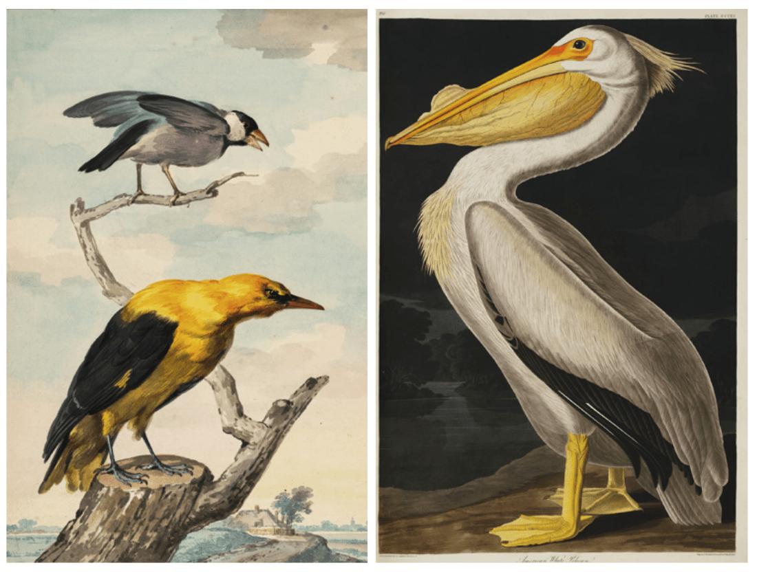 Aert Schouman, Landschap met een rijstvogel en een wielewaal op een boomstronk (1753) American White Pelican, uit John James Audubon, The Birds of America (1827-1838)